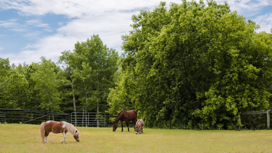 Two horses and a donkey grazing in a field. Large trees in background